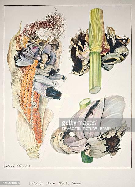 Botany Plant pathology Tumors of maize or corn smut caused by fungus Ustilago maydis