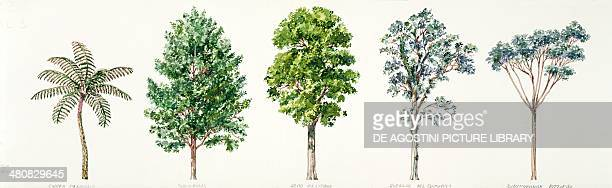 Botany - Rabo de Mico ; American Sweetgum ; Mexican elm ; Costa Rican oak ; Rodrigues schefflera ; illustration.