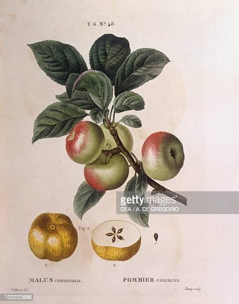 Botany Rosaceae Apple tree Henry Louis Duhamel du Monceau botanical plate by Pancrace Bessa
