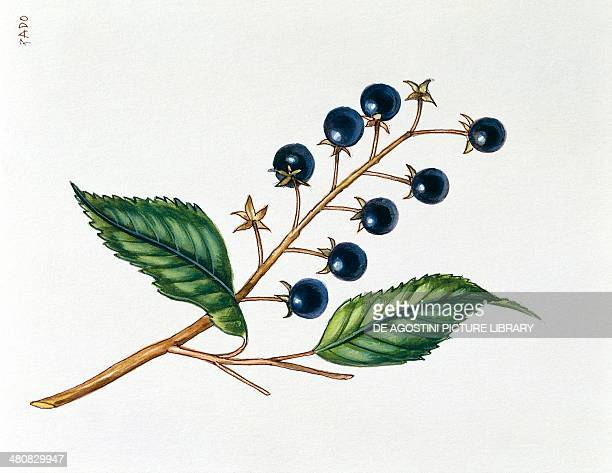 Botany Rosaceae Leaves and fruits of Bird Cherry illustration