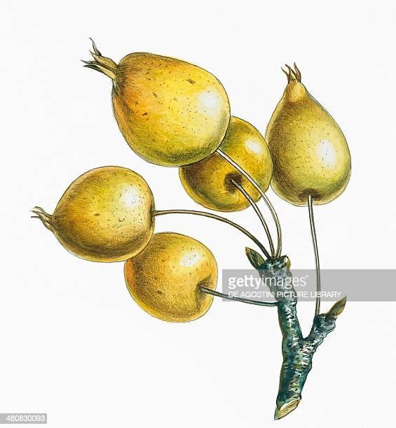 Botany Rosaceae Pomes false fruits of Pomoideae plants illustration