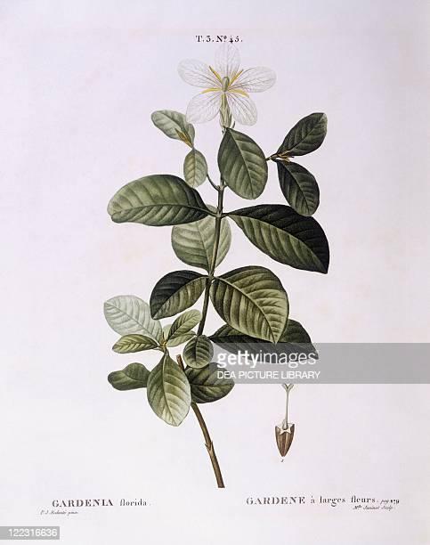 Botany Rubiaceae Gardenia Henry Louis Duhamel du Monceau botanical plate by Pierre Joseph Redouté