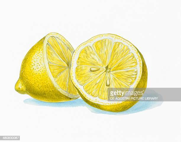 Botany Rutaceae Lemon fruit illustration