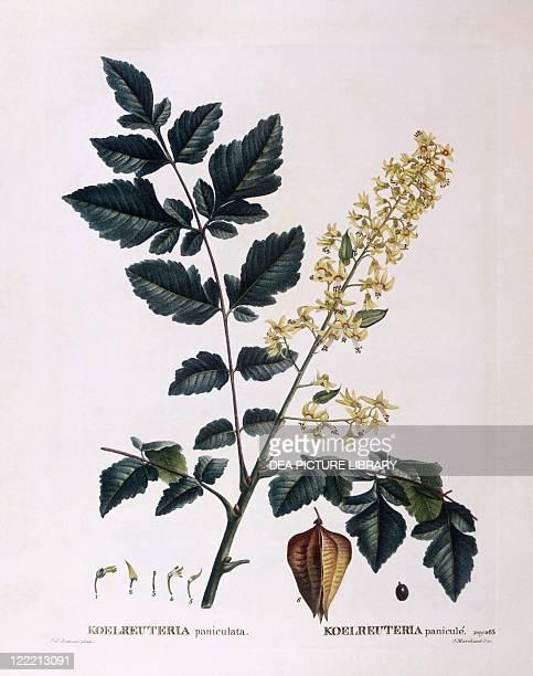 Botany Sapindaceae Golden rain tree Henry Louis Duhamel du Monceau botanical plate by Pierre Joseph Redouté