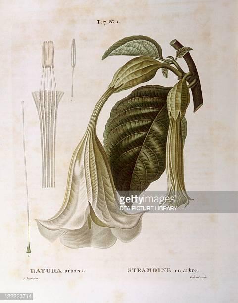 Botany Solanaceae Angel's trumpet or Datura tree Henry Louis Duhamel du Monceau botanical plate by Pancrace Bessa