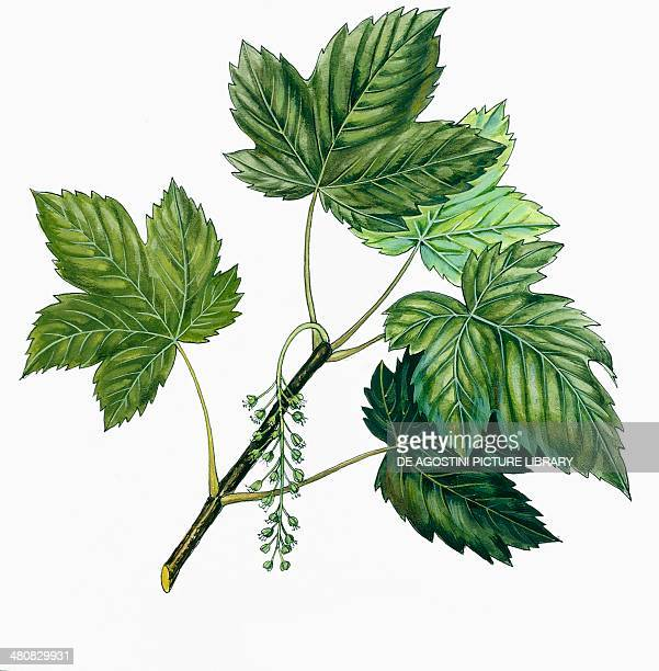 Botany Trees Aceraceae Leaves of Sycamore Maple illustration
