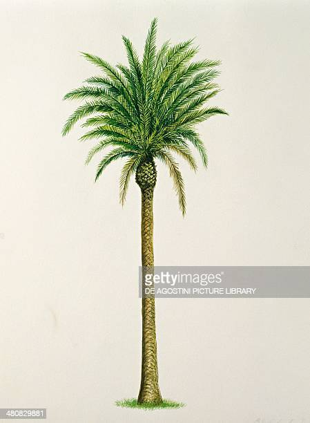 Botany Trees Arecaceae Alexandra or King Palm