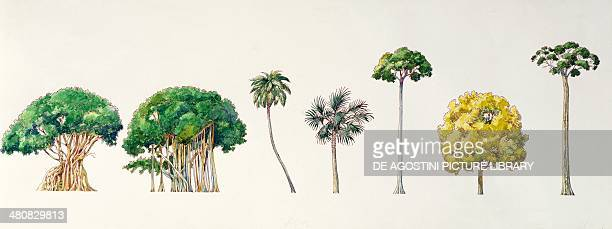 Botany Trees Bengal fig Sacred Fig Silver Date Palm Asian palmyra palm Common Teak Burma simpoh and Sal illustration