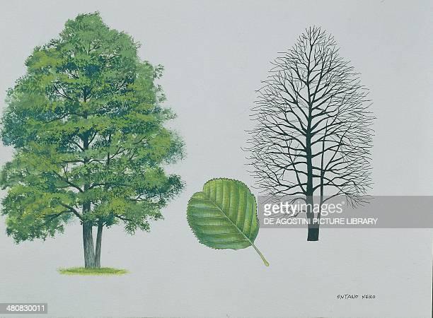 Botany Trees Betulaceae Black or European alder illustration