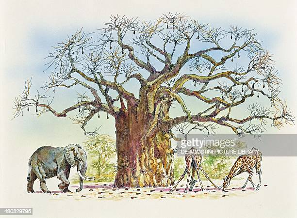 Botany Trees Bombacaceae or Malvaceae Baobab tree surrounded by animals eating its fruits Illustration