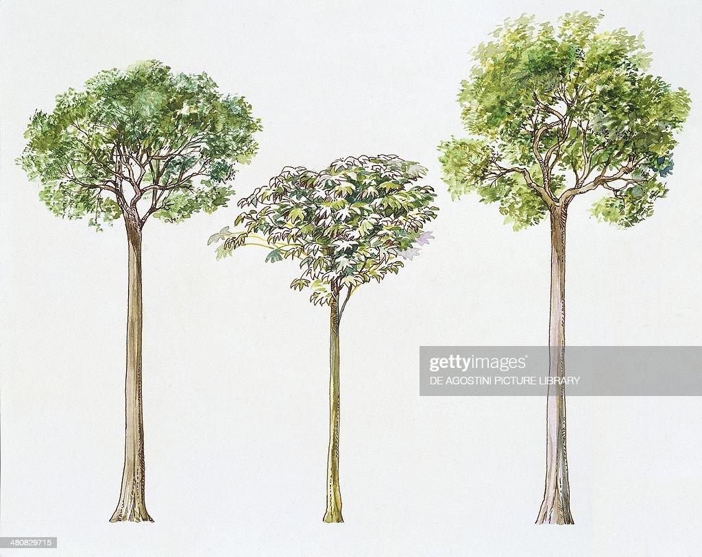 Botany - Trees - Brazil Nut (Bertholletia Excelsa), Trumpet Tree (Cecropia Peltata) and Angelim Vermelho (Dinizia Excelsa), illustration... : News Photo