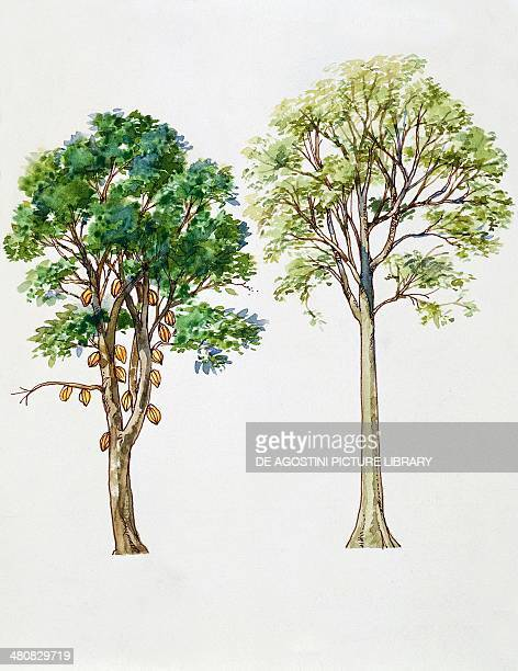Botany Trees Cacao Rubber Tree illustration