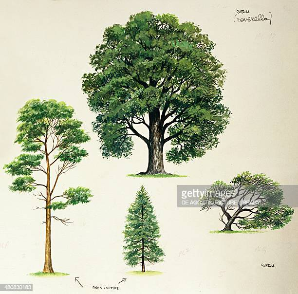 Botany Trees Comparison between young and old specimens of Downy oak and Scots Pine Illustration