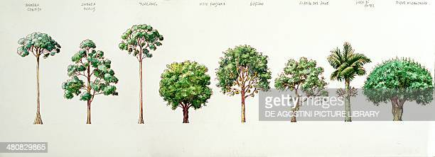 Botany Trees Dark Red Meranti Shorea ovalis Mengaris Tree Fragrant Nutmeg Durian Jackfruit areca nut palm and Chinese Banyan Tree Illustration