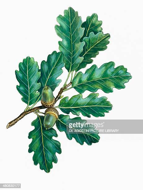 Botany Trees Fagaceae Leaves and fruits of Downy oak illustration