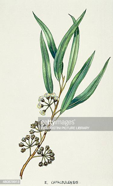Botany Trees Myrtaceae Leaves and flowers of River Red Gum illustration