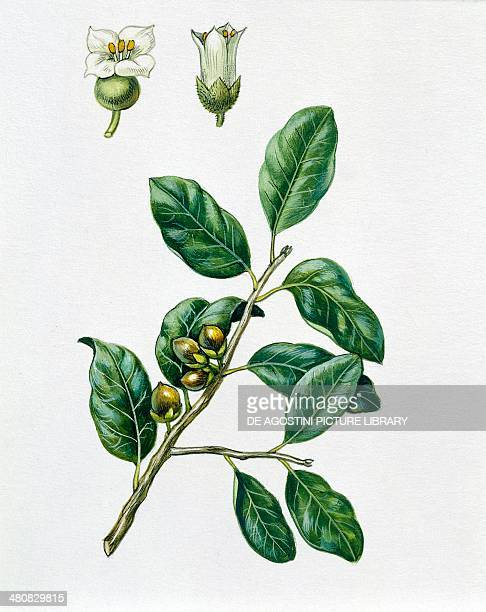 Botany Trees Oleaceae Leaves and fruits of Olive tree Illustration