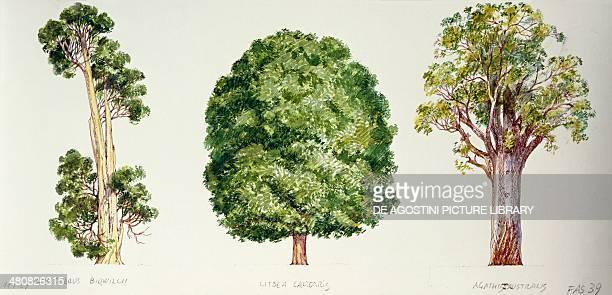 Botany Trees Pahautea Mangeao and Kauri illustration