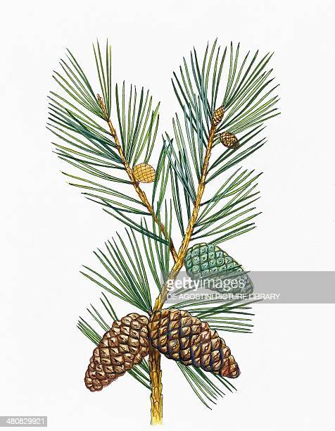 Botany Trees Pinaceae Leaves and cones of Aleppo Pine illustration