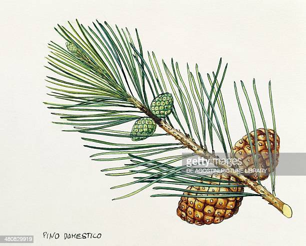 Botany Trees Pinaceae Leaves and cones of Stone Pine illustration