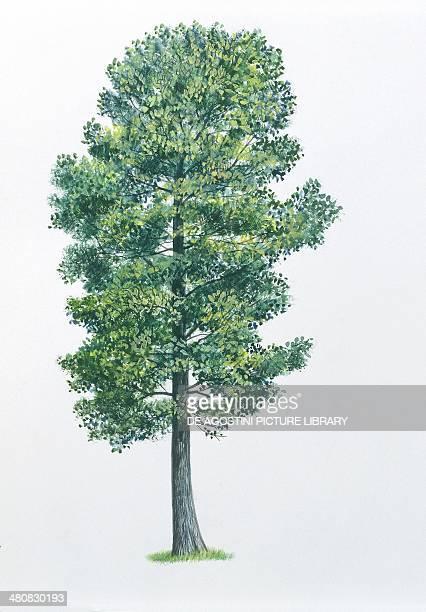 Botany Trees Pinaceae Swiss pine illustration