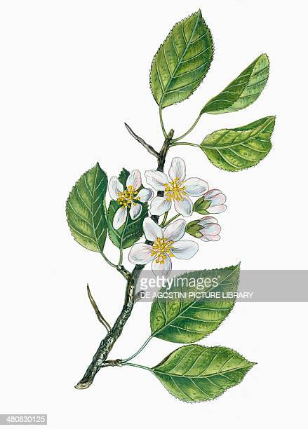 Botany Trees Rosaceae Leaves and flowers of Wild apple illustration
