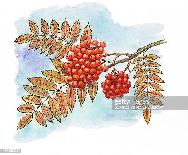 Botany Trees Rosaceae Leaves and fruits of Rowan or European mountain ash illustration