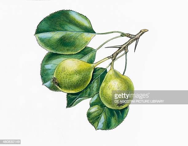 Botany Trees Rosaceae Leaves and fruits of Wild Pear illustration