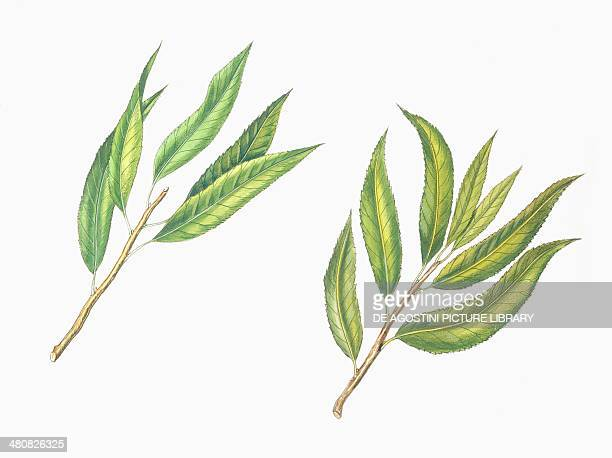 Botany Trees Rosaceae Leaves of Almond and Peach illustration