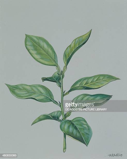 Botany Trees Rutaceae Branch with leaves of Bitter or Seville orange illustration