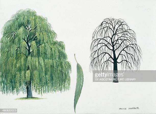 Botany Trees Salicaceae Babylon Willow illustration