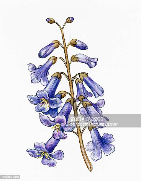 Botany Trees Scrophulariaceae Flowers of Empress Tree illustration