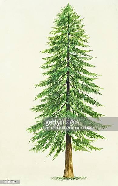 Botany Trees Taxodiaceae Coast Redwood illustration