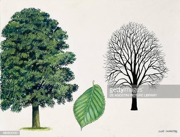 Botany Trees Ulmaceae Field elm illustration
