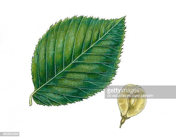 Botany Trees Ulmaceae Leaves and fruits of Wych elm illustration