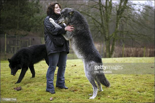 Both feared and respected wolves were long considered a danger to man In the wild however they do not attack human beings and prefer to beat a...