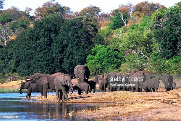 Botswana Chobe National Park Elephants At Chobe River