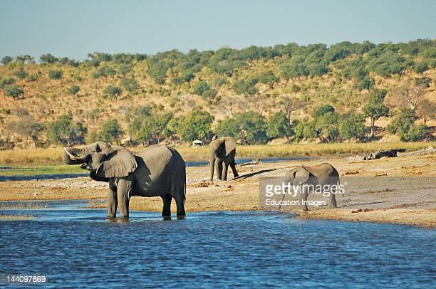 Botswana Chobe National Park Herd Of Elephants Drinking Water