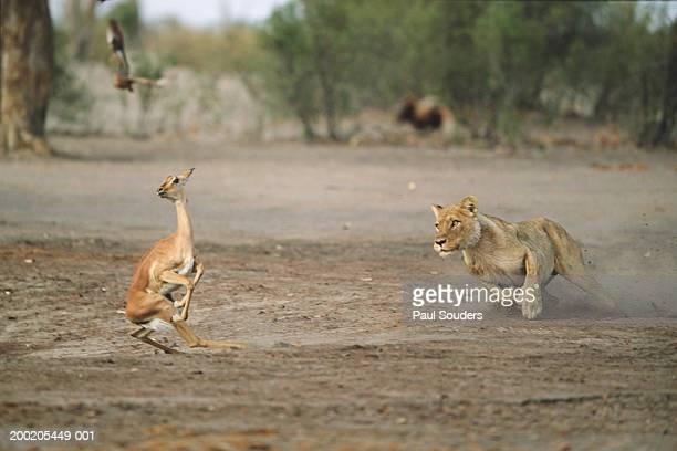 Botswana, Chobe NP, Savuti Marsh, lioness chasing impala