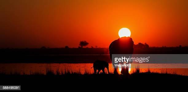 Botswana, Elefant with young animal on Chobe river at sunset