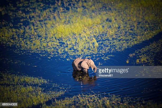 botswana, elephant walking in okavango river at high water - botswana stock pictures, royalty-free photos & images