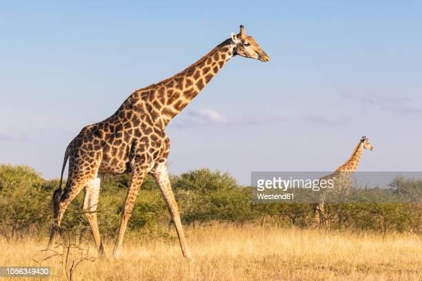 botswana, kalahari, central kalahari game reserve, giraffes walking, giraffa camelopardalis - giraffe stock pictures, royalty-free photos & images