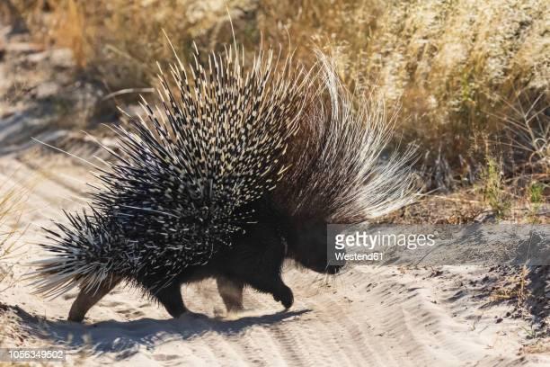 botswana, kalahari, central kalahari game reserve, old world porcupine, hystricidae - kalahari desert fotografías e imágenes de stock