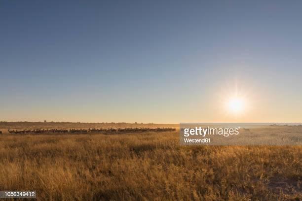 botswana, kalahari, central kalahari game reserve, - savannah stock photos and pictures