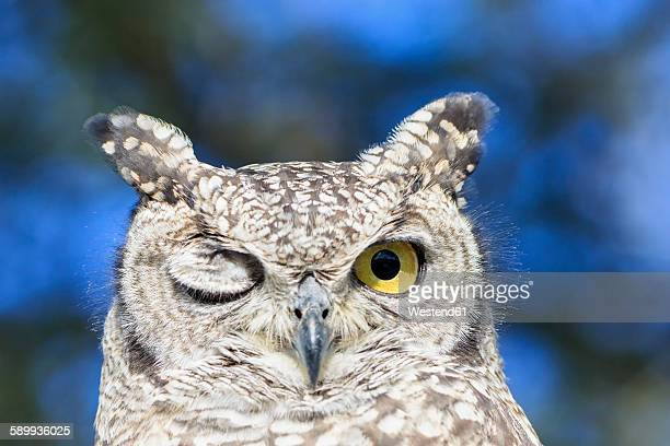 Botswana, Kalahari, Central Kalahari Game Reserve, portrait of spotted eagle owl with one eye closed