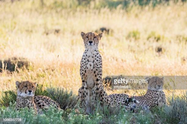 botswana, kgalagadi transfrontier park, cheetahs, acinonyx jubatus - kalahari desert fotografías e imágenes de stock