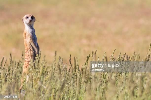 botswana, kgalagadi transfrontier park, kalahari, meerkat watching, suricata suricatta - mangusta foto e immagini stock