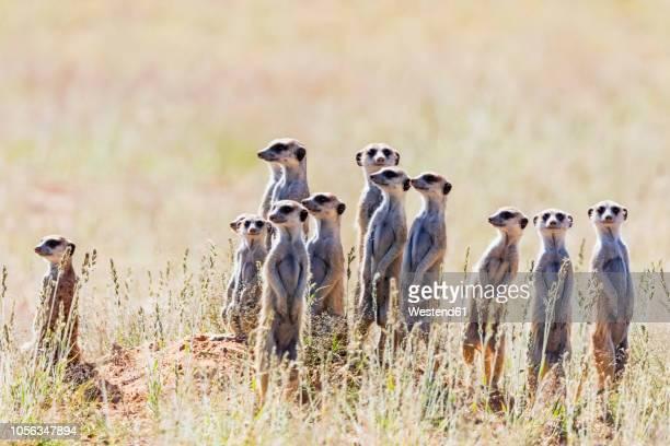 botswana, kgalagadi transfrontier park, kalahari, meerkats, suricata suricatta - ミーアキャット ストックフォトと画像