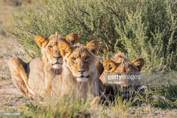 botswana, kgalagadi transfrontier park, pride of lions - safari animals stock pictures, royalty-free photos & images