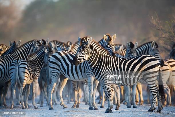 Botswana, Magkadikadi Pan, zebra herd on track